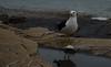 Merendando (joaquinsosaabad) Tags: gaviota comiend comiendo mar del plata 1855 d5100 pesca