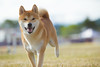 _MG_9961 (Corey Polis) Tags: akc coursing dogsports fastcat july302017 mushu nwrrc sequim