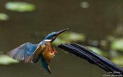 Landeanflug(Alcedo atthis) Fütterung der zweiten diesjährigen Brut. Wildlife,Wümmeniederung-Bremen. ©Arne Flemke (Cristoforo Colombo) Tags: bremen wümme eisvogel kingfisher wümmewiesen