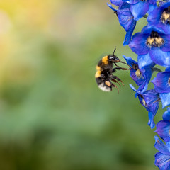 humla. bumble bee (Mika Lehtinen) Tags: flower bumblebee bumble bee insect nectar fly pollination yellow black humla summer macro close
