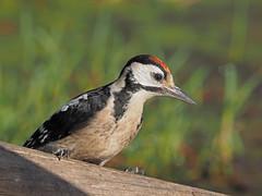 Great spotted Woodpecker  immature ( Dendrocopos major ) (diegocon1964) Tags: greatspottedwoodpecker dendrocoposmajor picopicapinos loradelrío sevilla españa