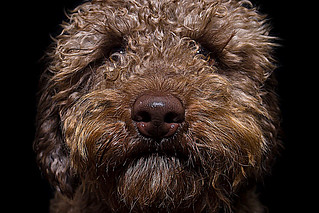 Dipper the Poodle