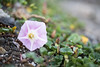 SYS_3847 (Daegeon Shin) Tags: nikon d750 nikkor 55mmf28 flower flor florsilvestre wildflower calystegiasoldanella dof 니콘 니콘렌즈 꽃 야생화 갯메꽃 심도