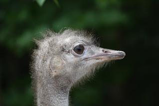 Struisvogel (Struthio camelus)