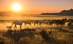 Wild Horse Sunset (Jami Bollschweiler Photography) Tags: wild horse west desert sunset utah wildlife photography onaqui herds horses landscape great basin