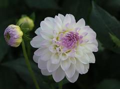 Dahlie (LuckyMeyer) Tags: blume blüte flower fleur sommer summer garten garden weiss violett white rosa grün green makro dahlia