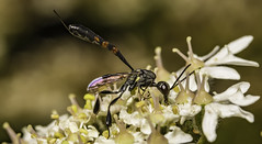 Ichneumon wasp (stevenbailey7) Tags: wasp insect ichneumon nature macro llanelli