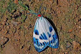 Chalcosia cf. pectinicornis - upper wings