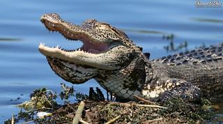 Ha ha!!  You croc me up!