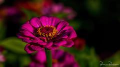 Zinnia (Zinnia elegans) (BraCom (Bram)) Tags: bracom zinnia flower bloem zinniaelegans closeup dof depthoffield pink paars petals bloemblaadjes zomer summer bloom bloei hart herkingen goereeoverflakkee zuidholland nederland southholland netherlands holland widescreen 169 bramvanbroekhoven nl
