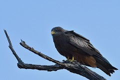 Yellow-billed Kite in Madikwe GR, South Africa (cirdantravels (Fons Buts)) Tags: wouw milan milvus kite madikwe raptor birdofprey