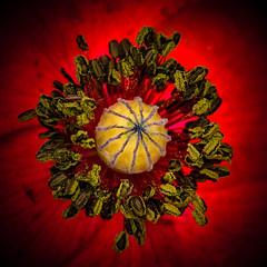 poppy (de_frakke) Tags: poppy klaproos rood red flower bloem