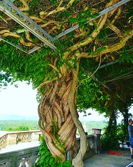 The tree of? (Edale614) Tags: tree nikon northcarolina biltmore photography