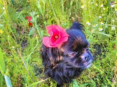 Зверушки 0395 (2016.05.21) (vladsky78) Tags: ильичёвск животные зелень цветы поле собака