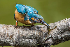 Kingfisher male with frog snack (best view in large) (Silu Junior) Tags: kingfisher eisvogel frosch lasauge