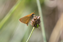 Small Skipper (CJH Natural) Tags: skipper smallskipper butterfly moth wild wildlife nikon d500 nikond500 telephoto 200500mm edvr nikkor natural nature outdoor outdoors animal christopherharrisorg