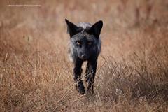 Incoming... (namra38) Tags: armanwerthphotography redfox wild wildlife washington