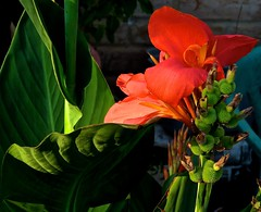 Portrait Of An Orange Canna (Chic Bee) Tags: orangecanna close macro love life deathandtransfiguration transformations transitions young new old oldage aging memories joy joyous happiness happy sad depression depressed elated elation fun sadness bothsides garden flowers seeds birth death