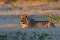 Lioness-0464 (Panthera leo) (dennis.zaebst) Tags: africa namibia etosha lion lioness animal outdoor naturethroughthelens