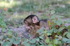 Bébé macaque de Barbarie (Passion Animaux & Photos) Tags: macaque barbarie bebe barbarymacaque cub montagne singes france