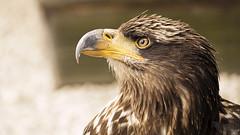 Pygargue à queue blanche (Kajinohana) Tags: whitetailed eagle ern erne gray bird birdofprey brown closeup