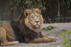 R.I.P. Kashi (DeanB Photography) Tags: zoo frankfurt tiere tier tierpark tierwelt löwe lion rip loewe löwen loewen