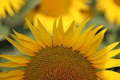 Les tournesols........La fleur du soleil....... (clarainésrestrepo) Tags: fleur soleil bernex prairie jaune