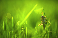 ... Yo Te ví pasar ... (Device66.) Tags: green grasshopper device grass garden nikon tevipasar