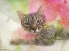 Manzanita... (musymas) Tags: musymas manzanita gata cat kitty textura coth5