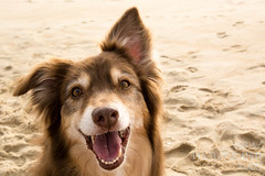 SZP_8794_pslr5 (Lakeside Annie) Tags: 2017 20170719 aussie australianshepherd bethanybeach bethanybeachde bethanybeachdelaware d7100 delaware denali july19 leannefzaras nikon nikond7100 redtri redtriaussie sarazphotography sigma sigma1770mm wednesday beachdog dog sandynose sandypaws beach delawarebeach