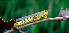 Grasshopper, True, Texas (Young County) (Small Creatures) Tags: anamorphic anamorphicmacro anamorphiccloseup cinemascope d60 grasshopper iscorama isco iscoramacloseup iscoramamacro nikkorh85mm nikond60 rural reversemounting texas truetexas youngcounty lenshacking earthnaturelife