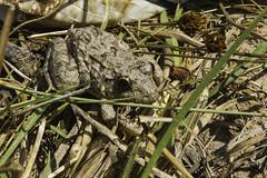 Asian grass frog (Fejervarya limnocharis) (Keith Kelly) Tags: anlongklong asia asiangrassfrog cambodge cambodia fejervaryalimnocharis kh kampuchea keithkelly krakor pursatprovince southeastasia country countryside farmland keithakelly rural pouthisat