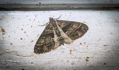 Lipogya eutheta (dustaway) Tags: arthropoda insecta lepidoptera geometridae ennominae lipogya lipogyaeutheta geometermoth geometridmoth australianinsects lismore northernrivers nsw australia australianwildlife nature natur
