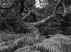 Tree and Ferns (Hyons Wood) (Jonathan Carr) Tags: mediumformat black white bw monochrome landscape rural northeast abstract ancientwoodland 6x45 tree ferns