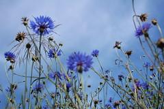 blue flowers, blue sky (notpushkin) Tags: kornblumen blau blue himmel sky