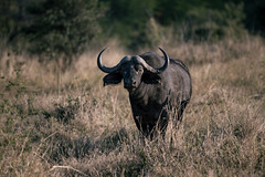 Looking into my eyes (knipslog.de) Tags: agressive buffalo grasland botswana botsuana safari adventure wildlife wild animals selfdrivesafari