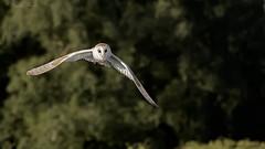 The Barn Owl. With a field vole. (wayne24185071) Tags: tytoalba barnowl white birdofprey fieldvole vole silentflight assasin flickrsbest england uk canon1dx autofocus avian inflight canonflickraward