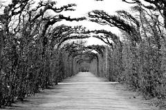 Trees in Winter (just.Luc) Tags: trees bomen arbres baüme garden garten tuin jardin vienna vienne wenen wien austria autriche oostenrijk osterreich bw bn nb zw monochrome monochroom monotone schönbrunn