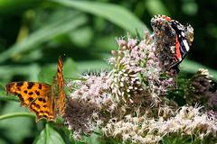 Polygonia c-album DSC00666 (imanh) Tags: imanh iman heijboer wyldemerk insect macro vlinder butterfly polygonia calbum natuur nature comma gehakkelde aurelia