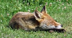 Lazy Mr Fox 3 (Foto Fantasy UK) Tags: fox grass ears nose fur pelt legs feet eyes