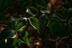 IMG_0033 Wading Through the Light (oldimageshoppe) Tags: leaves dogwood backlight afternoonsun summer