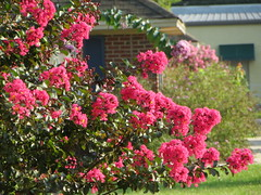 Crape Myrtle In Bloom. (dccradio) Tags: lumberton nc northcarolina flower floral flowers outside outdoors plant nature summer summertime greenery canon powershot elph 520hs crapemyrtle crepemyrtle pink flowering floweringtree building grass lawn scenic leaves leaf foliage