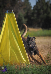 P7162648 (Songdog Studios) Tags: green dog neumond womensretreat 2017 k9 schutzhund ipo