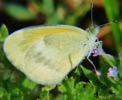 Dainty Sulphur (Keith Roragen) Tags: nebraska butterfly insect lepidoptera pieridae daintysulphur nathalis iole boyerchutenationalwildliferefuge