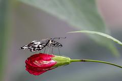 Papilio demodocus ou Papillon de Vinson ou Voilier des citronniers (pogona) Tags: 7d canon7d canon markii 100400mm papillon butterfly papiliodemodocus papillondevinson voilierdescitronniers fleur flower rouge red nature macro