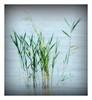 young reed (kurtwolf303) Tags: reed schilf water wasser plant pflanze natur nature nikoncoolpixs9900 nikon compactcamera vignette acdsee unlimitedphotos coolpix frame fotorahmen 250v10f topf25 topf50 topf75 500v20f 800views topf100 900views 1000v40f