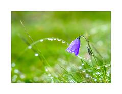 Bärtige Klockenblume (Fujigraf) Tags: blume klockenblume bärtig berg wanderung hike garmisch partenkirchen mounten grün blatt gras wasser perlen soft
