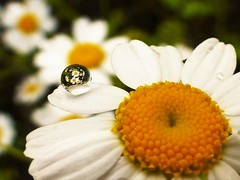 Daisies..x (Lisa@Lethen) Tags: daisy daisies flower water drop droplet macro refraction garden nature petals
