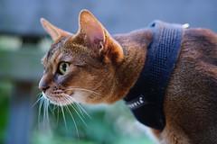 Watching (DizzieMizzieLizzie) Tags: abyssinian aby beautiful wonderful lizzie dizziemizzielizzie portrait cat chats feline gato gatto katt katze katzen kot meow mirrorless pisica sony a6500 animal pet