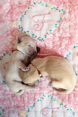 girls (thehappypaws) Tags: newborn goldenretriever puppy